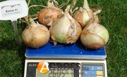 Семена лука озимого Балстар F1 250 000с - фото 6432