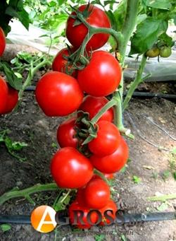 Семена томата Ядвига F1 - фото 6451