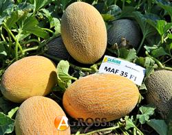 Семена дыни Мазин F1 (Маф 35 F1) - фото 6458