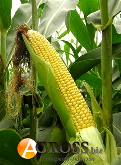 Семена кукурузы Сириус F1 5000 шт - фото 6745