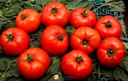 Семена томата Мобил - фото 6766