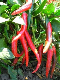 Семена перца горького Паливец - фото 6784