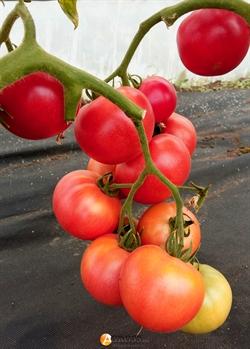 Семена томата Розализа F1 - фото 6810