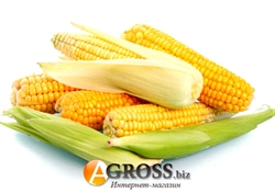 Семена кукурузы Гермиона (Юрмала) F1 1000 шт - фото 6844