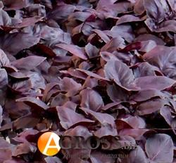 Базилик фиолетовый Жиголо 50 г - фото 6886