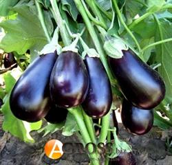 Семена баклажана Прадо F1 - фото 6905