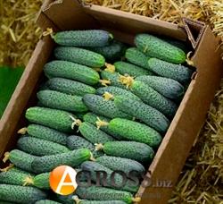 Семена огурца Страж F1 (YS 112-314 F1) - фото 7132