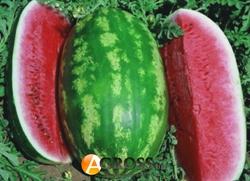 Семена арбуза Думара F1 1000 шт - фото 7516