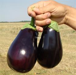 Семена баклажана Галине F1 - фото 7588