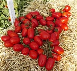 Семена томата Пьетра Росса F1 - фото 7599