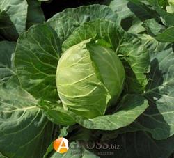 Семена капусты Этма F1 - фото 7680