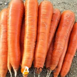 Семена моркови Колтан F1 (калибр 1.8 - 2.0) 100 000 шт. - фото 8031