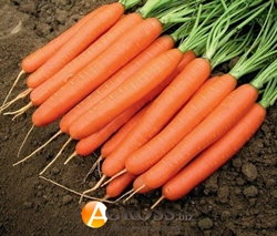 Семена моркови Романс F1 (калибр 1,6 - 1,8) 100 000 шт. - фото 8032