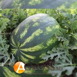 Семена арбуза Маракеш F1 - фото 8042