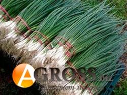 Семена лука на перо Кайгаро F1 50 000 шт - фото 8108
