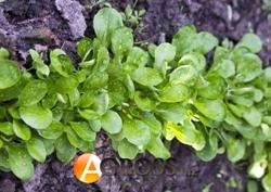 Семена корн - салата Акцент 100 000 шт - фото 8114