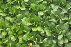 Семена корн - салата Сирила - фото 8118