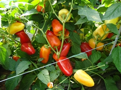 Семена перца Беатрикс F1 500 шт - фото 8131