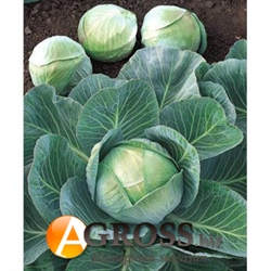 Семена капусты Арривист F1 2500шт - фото 8140