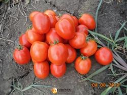Семена томата Чезена F1 1000 шт - фото 8204