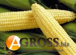 Семена кукурузы Спирит F1 - фото 8230