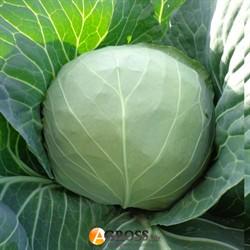 Семена капусты Магнус F1 2500 шт - фото 8370