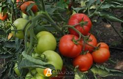 Семена томата Капонет F1 500 шт - фото 8430