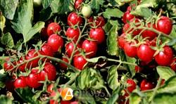 Семена томата-черри Сомма F1 АКЦИЯ - фото 8600