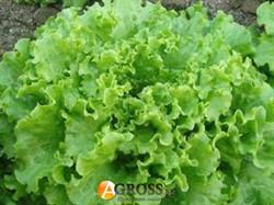 Салат зеленый Гентилина - фото 8657