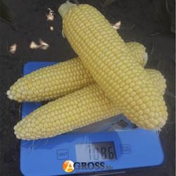 Кукуруза сахарная Харди F1 5000 шт - фото 8795