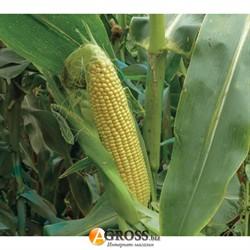 Семена кукурузы 3517 F1 - фото 8866
