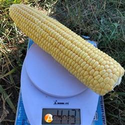 Семена кукурузы 1805 F1 - фото 8867