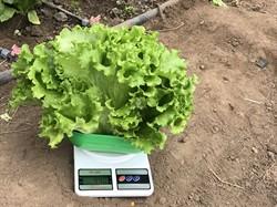 Семена салата Драгон 1000 шт - фото 8888