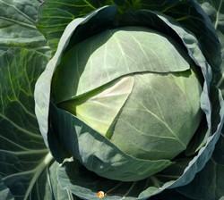 Семена капусты Церокс F1 2500шт - фото 8899