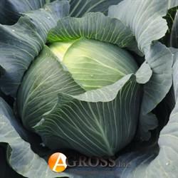 Семена капусты Леопольд F1 2500шт - фото 8914