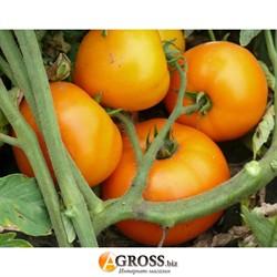 Семена желтоплодного томата Свит Сан F1 - фото 8917