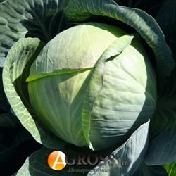 Семена капусты Циклон F1 2500 шт - фото 8919