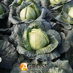 Семена капусты Краутман F1 2500шт - фото 8937