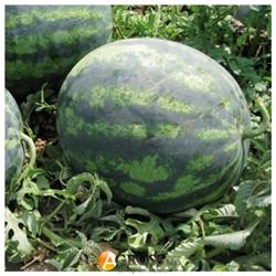 Семена арбуза Зенго F1 - фото 8958