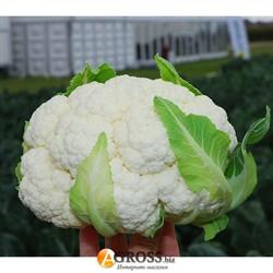 Семена цветной капусты Бригантина F1 - фото 8987