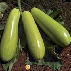 Семена кабачков KS 3714 F1 - фото 9029