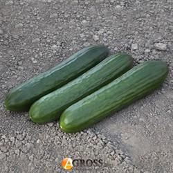 Семена огурца KS 930 F1 - фото 9076