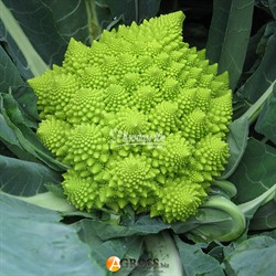 Семена цветной капусты Джитано F1 - фото 9147