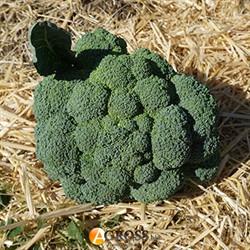 Семена капусты брокколи Партенон F1 - фото 9322