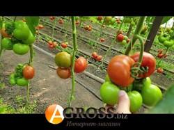 Семена томата Адриатика F1 - фото 9332