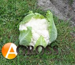 Семена цветной капусты Клиппер F1 - фото 9352