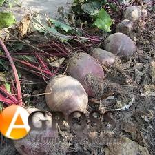 Семена свеклы Гарольд - фото 9356