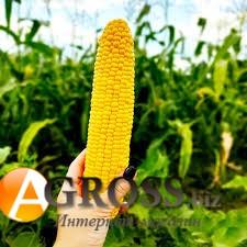 Семена кукурузы Сентинель F1 - фото 9358