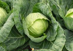 Семена капусты Ранини F1 - фото 9442