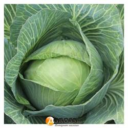 Семена капусты Дитмаршер Фрюер 100 г  (Коуел) - фото 9472